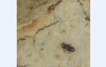 حشرات وديدان في أرغفة الخبز بمخيم خان دنون
